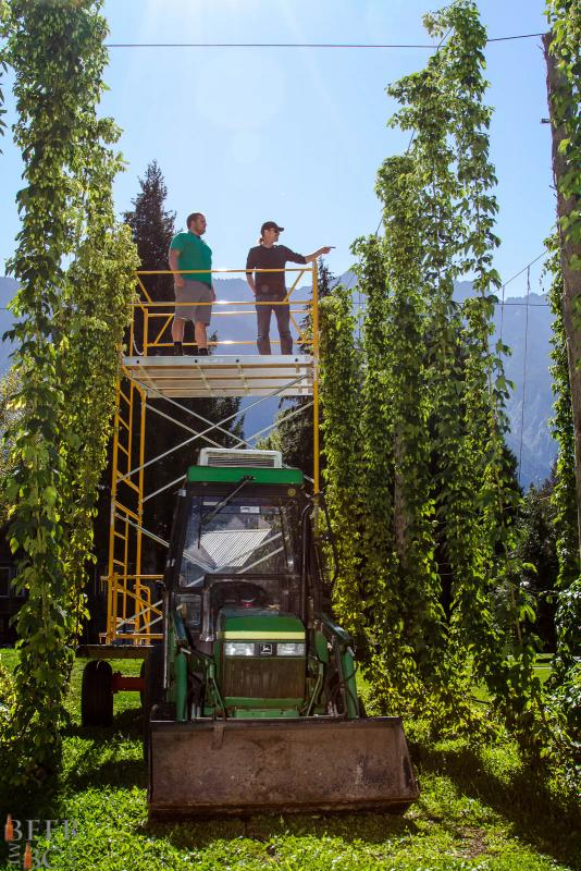 Harvesting Fresh Hops