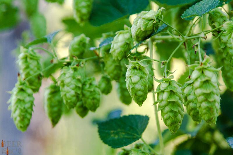 Fresh Hops Growing in BC